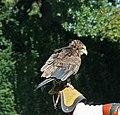 Bateleur Eagle 2 (1277573809).jpg