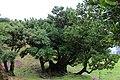 Baumpersönlichkeit bei Fanal, Madeira.jpg