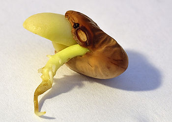 English: Bean germination