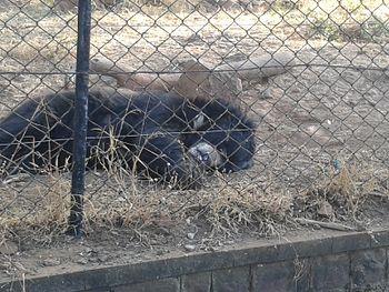 Bear in bhopal sanctury.jpg