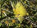 Beaufortia aestiva (yellow flowers).JPG