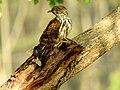 Beautiful Eagle on tree.jpg