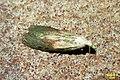 Bee moth f. (FG) (35278022993).jpg