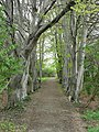 Beech trees by footpath, Kirkstall - geograph.org.uk - 164831.jpg
