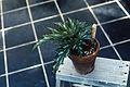 Begonia aconitifolia2 WPC.jpg