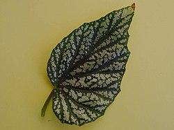 Begonia coralina a1.JPG