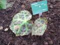 Begonia rajah.JPG