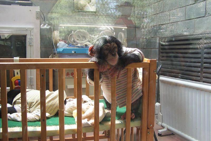 File:Beijing Zoo baby chimpanzee.jpg