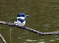 Belted Kingfisher (73165402).jpg