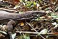 Bengal monitor (Varanus bengalensis) or common Indian monitor Lizard. (30926618923).jpg