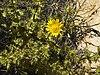 Berkheya spinosissima