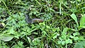 Big Slug Heading To Our Vegetable Garden (8428636457).jpg