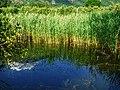 Biotope Lake of Gargazzone - Photo by Giovanni Ussi - Lake and surrounding vegetation (101) 27.jpg