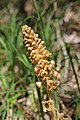 Bird's-Nest Orchid - Neottia nidus-avis (14033657249).jpg