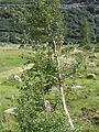 Birke unterhalb Rhonegletscher.jpg