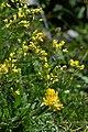Biscutella laevigata, Glatt-Brillenschötchen 1.JPG