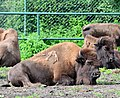 Bison bison - Serengeti-Park Hodenhagen 03.jpg