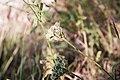 Bituminaria bituminosa-Psoralée bitumineuse-Bourgeon floral-20150620.jpg