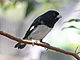 Black-and-white Seedeater BW12b.jpg