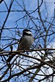Black-capped Chickadee (Poecile atricapillus) - Mississauga, Ontario 2019-04-24.jpg
