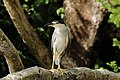 Black-crowned night heron (Nycticorax nycticorax hoactli).jpg