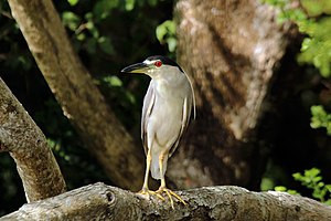 Black-crowned night heron - Image: Black crowned night heron (Nycticorax nycticorax hoactli)