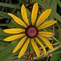 Black-eyed Susan (Rudbeckia hirta var. pulcherrima) - Kitchener, Ontario.jpg