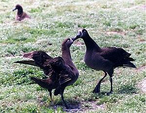 Black-footed albatross - Image: Black footed Albatrosses dance 2
