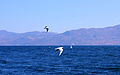 Black-headed Gulls in Fuxian Lake, Yunnan, China.jpg