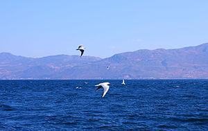 Fuxian Lake - Black-headed Gulls in Fuxian Lake.