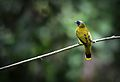 Black-headed bulbul (24978340221).jpg