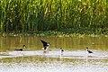 Black-necked stilt (47743012631).jpg