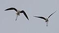 Black-winged stilts in flight, Lido de Thau.jpg
