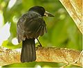Black Butcherbird.jpg