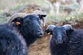 Black Sheep (3863493088).jpg