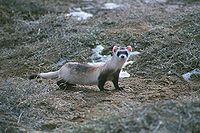 Black footed ferret whole.jpg