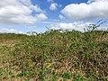 Blackberry shrubland.jpg