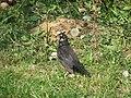 Blackbird, Bystrc 23.JPG