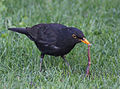 Blackbird in Madrid (Spain) 27.jpg