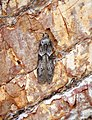 Blastobasis glandulella (36953677255).jpg