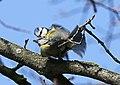 Blaumeise (Cyanistes caeruleus) im Grünfelder Park in Waldenburg. 2H1A3563WI.jpg