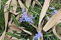 Blaustern-Blüte.JPG