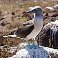 Blue-footed booby (47945217541).jpg