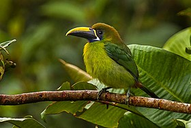 Blue-throated Toucanet - Panama H8O8999.jpg