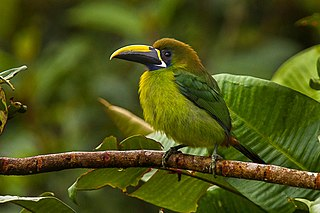 Blue-throated toucanet near-passerine bird living in the mountain forests of Costa Rica and western Panama