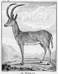 Ilustracja z 1778 autorstwa Allamanda w oparciu o holotyp w Lejdzie[2]