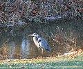 Blue Heron Eastwood, Ky (3090023234).jpg