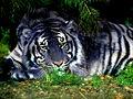 Blue tiger.jpg