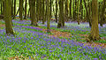 Bluebells, Ashridge Estate, 2015.jpg