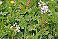 Blume in Wildbad 04.jpg